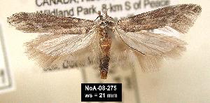 (Gnorimoschema salinaris - NoA-08-275)  @14 [ ] Unspecified (default): All Rights Reserved  Unspecified Unspecified