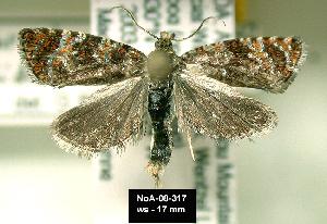 (Olethreutes coruscana - NoA-08-317)  @14 [ ] Unspecified (default): All Rights Reserved  Unspecified Unspecified