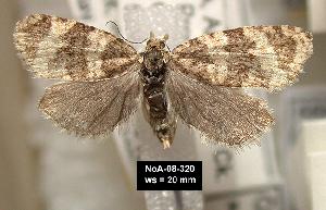 (Olethreutes metallicana - NoA-08-320)  @15 [ ] Unspecified (default): All Rights Reserved  Unspecified Unspecified