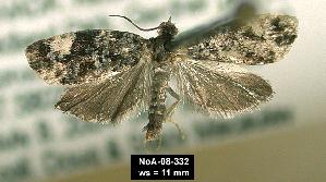 (Olethreutes bowmanana - NoA-08-332)  @12 [ ] Unspecified (default): All Rights Reserved  Unspecified Unspecified