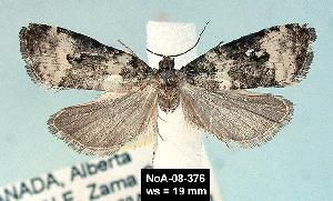 (Olethreutes heinrichana - NoA-08-376)  @13 [ ] Unspecified (default): All Rights Reserved  Unspecified Unspecified