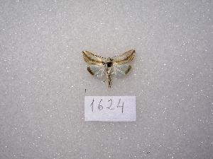 ( - MACN-Bar-Lep-ct 01624)  @12 [ ] Copyright (2011) MACN Museo Argentino de Ciencias Naturales