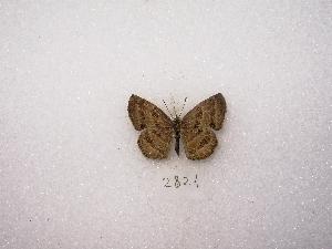 "(Trina - MACN-Bar-Lep-ct 02821)  @13 [ ] Copyright (2011) MACN Museo Argentino de Ciencias Naturales ""Bernardino Rivadavia"""