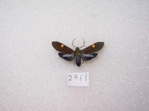 "( - MACN-Bar-Lep-ct 02969)  @12 [ ] Copyright (2011) MACN Museo Argentino de Ciencias Naturales ""Bernardino Rivadavia"""