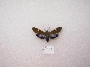 "( - MACN-Bar-Lep-ct 02978)  @12 [ ] Copyright (2011) MACN Museo Argentino de Ciencias Naturales ""Bernardino Rivadavia"""