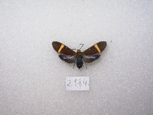 "( - MACN-Bar-Lep-ct 02984)  @12 [ ] Copyright (2011) MACN Museo Argentino de Ciencias Naturales ""Bernardino Rivadavia"""