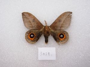 (Automeris naranja - MACN-Bar-Lep-ct 03039)  @14 [ ] Copyright (2011) MACN Museo Argentino de Ciencias Naturales