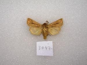 "(Mythimna adultera - MACN-Bar-Lep-ct 03047)  @12 [ ] Copyright (2011) MACN Museo Argentino de Ciencias Naturales ""Bernardino Rivadavia"""