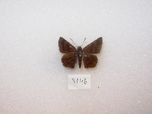 (Viola - MACN-Bar-Lep-ct 03146)  @13 [ ] Copyright (2012) MACN Museo Argentino de Ciencias Naturales