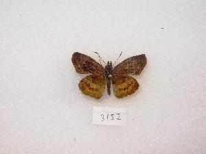 (Theagenes - MACN-Bar-Lep-ct 03152)  @12 [ ] Copyright (2012) MACN Museo Argentino de Ciencias Naturales