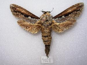 "(Morpheis xylotribus - MACN-Bar-Lep-ct 04028)  @14 [ ] Copyright (2011) MACN Museo Argentino de Ciencias Naturales ""Bernardino Rivadavia"""