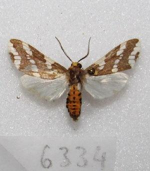 "(Tessellota - MACN-Bar-Lep-ct 06334)  @15 [ ] Copyright (2014) MACN Museo Argentino de Ciencias Naturales ""Bernardino Rivadavia"""