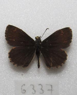 """(Zopyrion - MACN-Bar-Lep-ct 06337)  @13 [ ] Copyright (2014) MACN Museo Argentino de Ciencias Naturales """"Bernardino Rivadavia"""""""