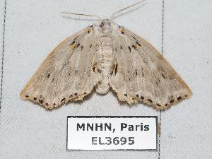 (Polygnamptia - EL3695)  @13 [ ] CreativeCommons (2015) Rodolphe Rougerie Muséum national d'Histoire Naturelle, Paris