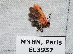 (Talara coccinea - EL3937)  @14 [ ] CreativeCommons (2015) Rodolphe Rougerie Muséum national d'Histoire Naturelle, Paris