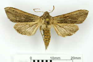 ( - RMNH.5009040)  @11 [ ] CreativeCommons-Attribution Non-Commercial Share-Alike (2018) B. Gravendeel Naturalis Biodiversity Center