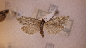 ( - LepVM1085)  @14 [ ] CreativeCommons - Attribution Non-Commercial Share-Alike (2014) NTNU University Museum, Department of Natural History NTNU University Museum, Department of Natural History