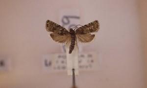 ( - LepVM1125)  @12 [ ] CreativeCommons - Attribution Non-Commercial Share-Alike (2014) NTNU University Museum, Department of Natural History NTNU University Museum, Department of Natural History