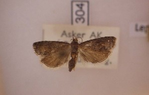 ( - LepVM1138)  @11 [ ] CreativeCommons - Attribution Non-Commercial Share-Alike (2014) NTNU University Museum, Department of Natural History NTNU University Museum, Department of Natural History