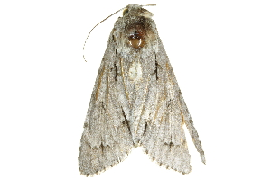 (Acronicta major - BIOUG20781-D02)  @13 [ ] CreativeCommons - Attribution Non-Commercial Share-Alike (2015) CBG Photography Group Centre for Biodiversity Genomics