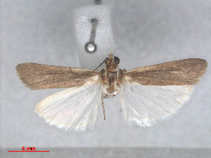 (Staudingeria albifrontella - RMNH.5010111)  @13 [ ] CreativeCommons - Attribution Non-Commercial Share-Alike (2014) Unspecified Naturalis, Biodiversity Centre