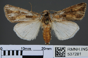 (Agrotis sardzeana - RMNH.INS.537281)  @14 [ ] CreativeCommons - Attribution Non-Commercial Share-Alike (2012) Unspecified Naturalis, Biodiversity Centre