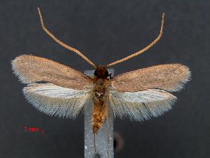 (Perissomastix wadimaidaq - RMNH.INS.537637)  @13 [ ] CreativeCommons - Attribution Non-Commercial Share-Alike (2012) Unspecified Naturalis, Biodiversity Centre