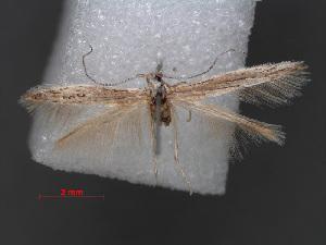 (Coleophora lasloella - RMNH.INS.537661)  @11 [ ] CreativeCommons - Attribution Non-Commercial Share-Alike (2012) Unspecified Naturalis, Biodiversity Centre