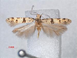 (Deltophora fasciella - RMNH.INS.543791)  @14 [ ] CreativeCommons - Attribution Non-Commercial Share-Alike (2012) Unspecified Naturalis, Biodiversity Centre