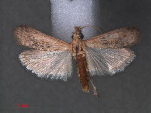 (Sciota insignella - RMNH.INS.543983)  @14 [ ] CreativeCommons - Attribution Non-Commercial Share-Alike (2012) Unspecified Naturalis, Biodiversity Centre
