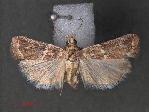 (Bazaria pempeliella - RMNH.INS.544022)  @13 [ ] CreativeCommons - Attribution Non-Commercial Share-Alike (2012) Unspecified Naturalis, Biodiversity Centre