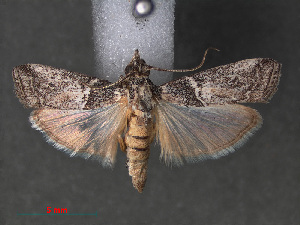 (Cherchera abatesella - RMNH.INS.544027)  @13 [ ] CreativeCommons - Attribution Non-Commercial Share-Alike (2012) Unspecified Naturalis, Biodiversity Centre