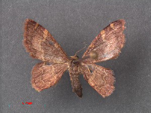 (Idaea roseomarginaria - RMNH.INS.540036)  @11 [ ] CreativeCommons - Attribution Non-Commercial Share-Alike (2013) Unspecified Naturalis, Biodiversity Centre