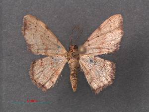 (Idaea craspedota - RMNH.INS.541286)  @13 [ ] CreativeCommons - Attribution Non-Commercial Share-Alike (2013) Unspecified Naturalis, Biodiversity Centre