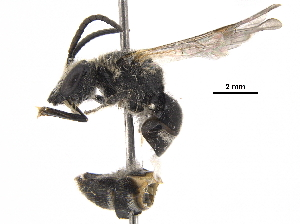 (Lasioglossum trizonatum - BIOUG36864-H08)  @13 [ ] CreativeCommons - Attribution Non-Commercial Share-Alike (2018) CBG Photography Group Centre for Biodiversity Genomics