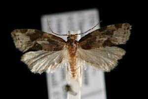 (Aethes floccosana - DNA-ATBI-6166)  @13 [ ] CreativeCommons - Attribution Non-Commercial Share-Alike (2010) CBG Photography Group Centre for Biodiversity Genomics