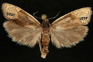 (Eucosma autumnana - DNA-ATBI-6498)  @14 [ ] CreativeCommons - Attribution Non-Commercial Share-Alike (2010) CBG Photography Group Centre for Biodiversity Genomics