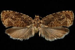 (Olethreutes melanomesum - DNA-ATBI-6335)  @15 [ ] CreativeCommons - Attribution Non-Commercial Share-Alike (2010) CBG Photography Group Centre for Biodiversity Genomics