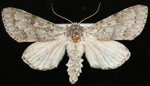 (Acronicta dactylina - UBC-2006-0169)  @15 [ ] Unspecified (default): All Rights Reserved  Unspecified Unspecified