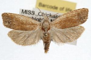 (Eucosma floridana - RBMIS-0944)  @15 [ ] CreativeCommons - Attribution Non-Commercial Share-Alike (2009) CBG Photography Group Centre for Biodiversity Genomics