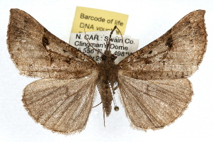 (Hypena edictalis - RBMIS-1093)  @15 [ ] CreativeCommons - Attribution Non-Commercial Share-Alike (2009) CBG Photography Group Centre for Biodiversity Genomics