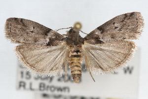 (Salebriaria annulosella - RBMIS-1685)  @14 [ ] CreativeCommons - Attribution Non-Commercial Share-Alike (2009) CBG Photography Group Centre for Biodiversity Genomics