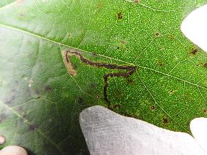 ( - FRM03170)  @11 [ ] by-nc-sa (2017) Greg Lamarre Institute of Entomology, Biology Centre CAS, Ceske Budejovice