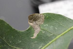 ( - FRM03346)  @11 [ ] by-nc-sa (2016) Greg Lamarre Institute of Entomology, Biology Centre CAS, Ceske Budejovice