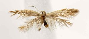 (Coleophora JFL115 - BIRD13235)  @13 [ ] Copyright (2007) Jean-Francois Landry Canadian National Collection