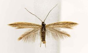 (Coleophora JFL087 - BIRD13247)  @15 [ ] Copyright (2007) Jean-Francois Landry Canadian National Collection