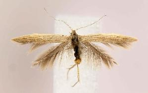 (Coleophora duplicis group - BIRD13272)  @15 [ ] Copyright (2007) Jean-Francois Landry Canadian National Collection