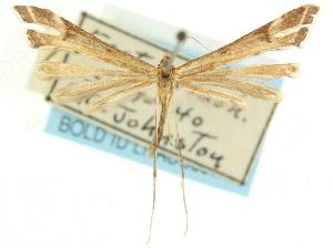 (Paraplatyptilia nana - CCDB-19581-H03)  @11 [ ] CreativeCommons - Attribution Non-Commercial Share-Alike (2012) CBG Photography Group Centre for Biodiversity Genomics