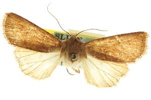 (Euxoa aurantiaca - CCDB-20285-C08)  @11 [ ] CreativeCommons - Attribution Non-Commercial Share-Alike (2013) CBG Photography Group Centre for Biodiversity Genomics