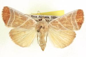 (Bagisara albicosta - CCDB-20806-C10)  @15 [ ] CreativeCommons - Attribution Non-Commercial Share-Alike (2013) CBG Photography Group Centre for Biodiversity Genomics